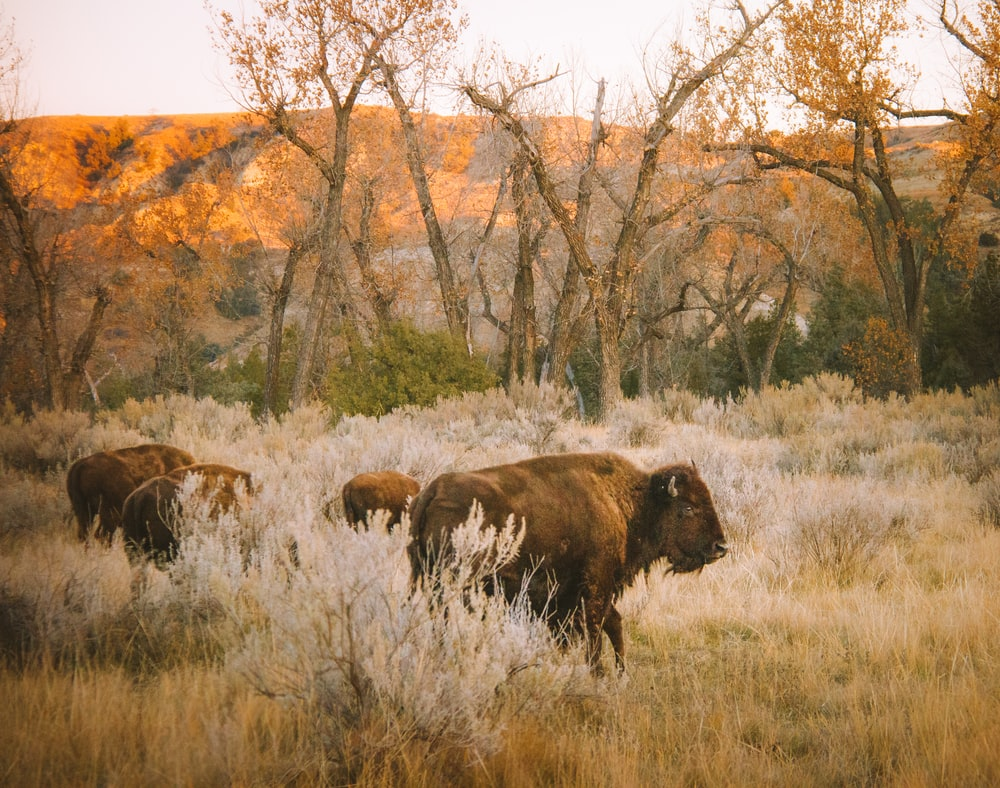 brown bison on grass field during daytime