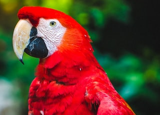Scarlet Macaw porches on tree branch