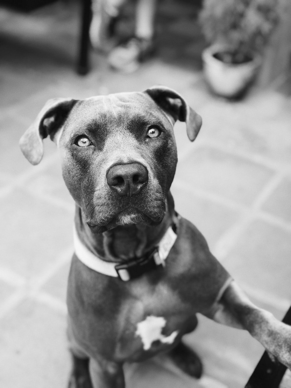 grayscale photography of American pit bull terrier