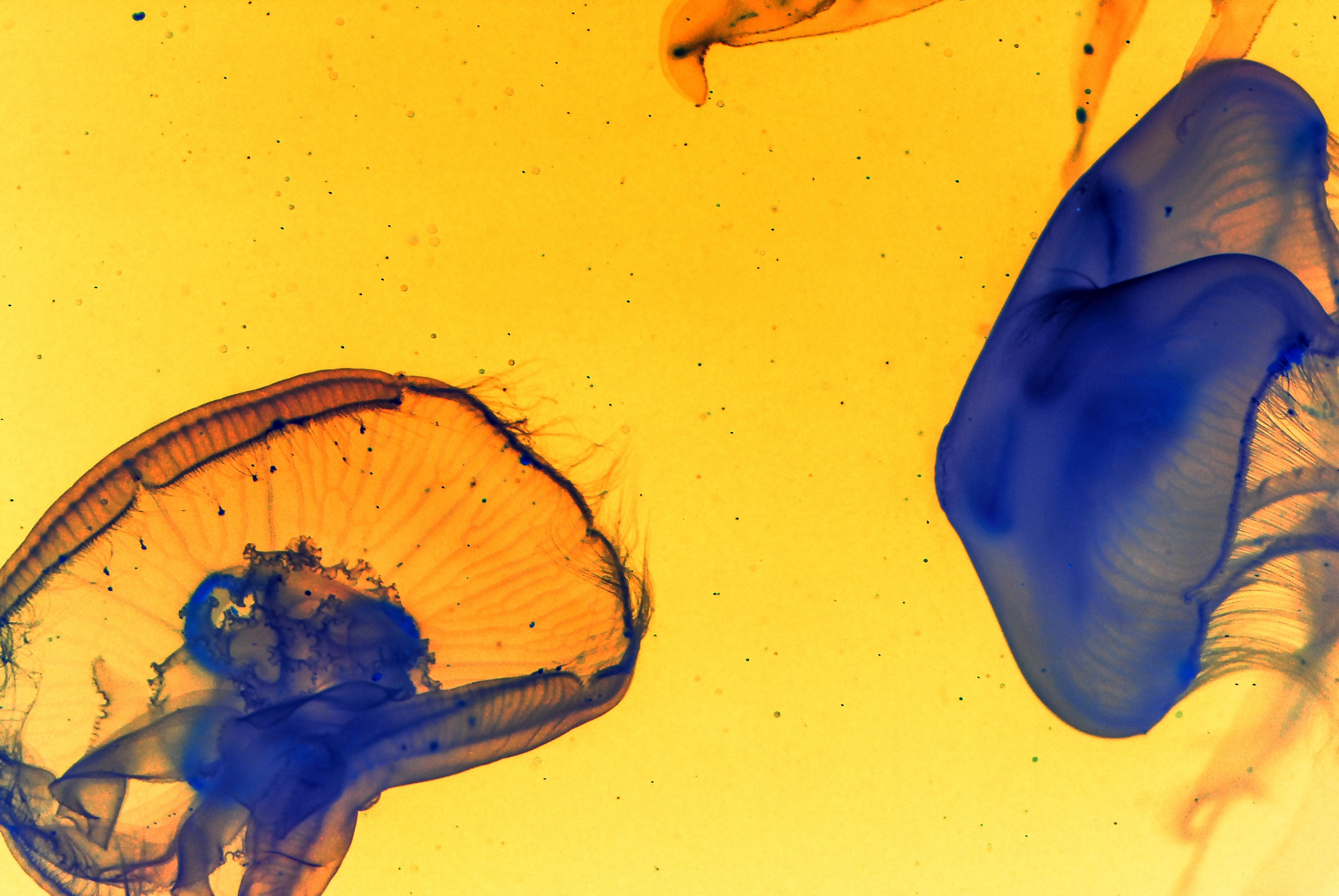 blue and yellow jellyfish wallpaper