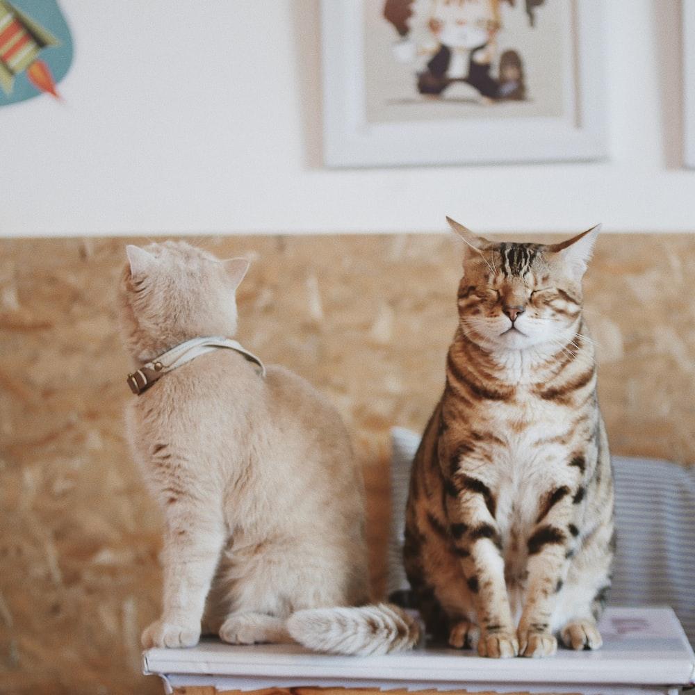 bengal cat and orange tabby cat