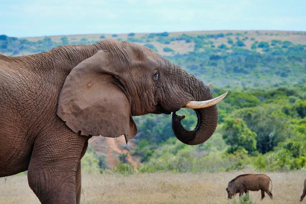 brown elephant standing near boar
