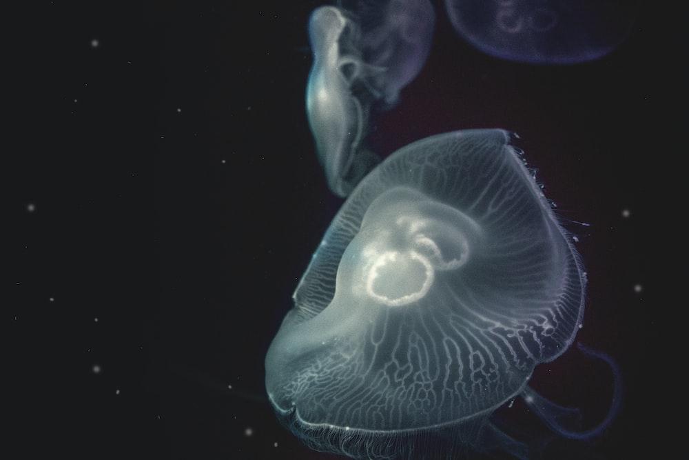 white jellyfish against black background