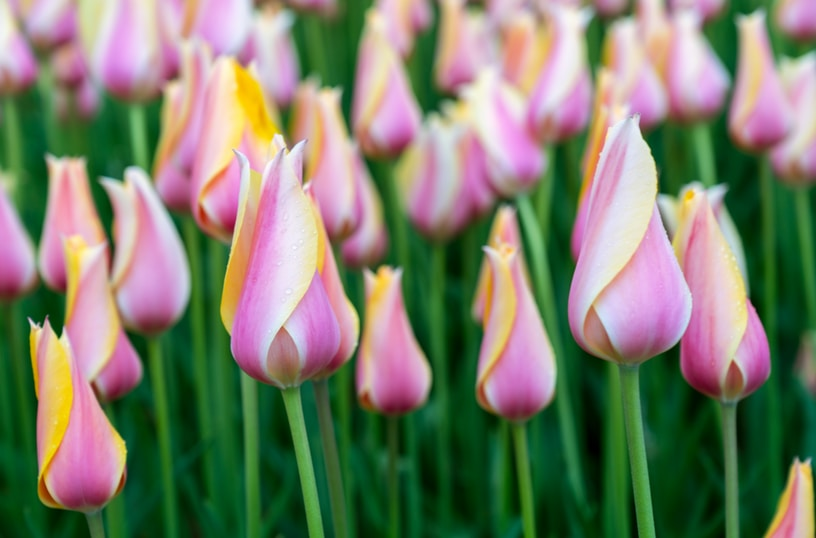 purple-white-and-yellow tulips