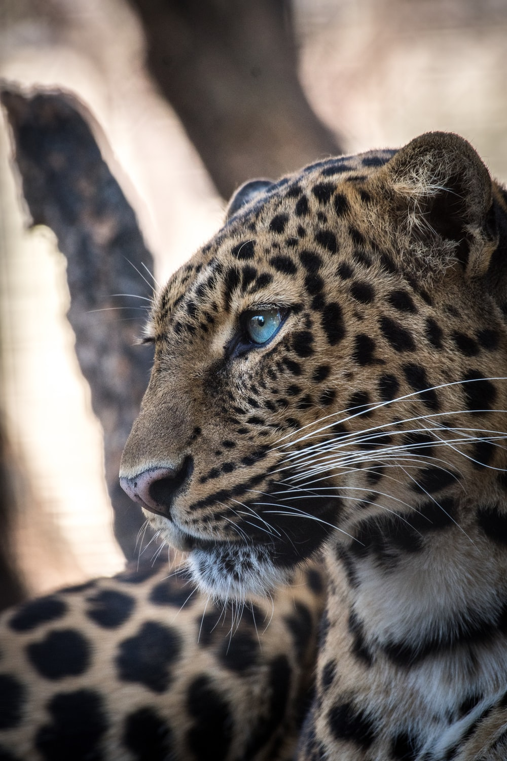 brown and black leopard