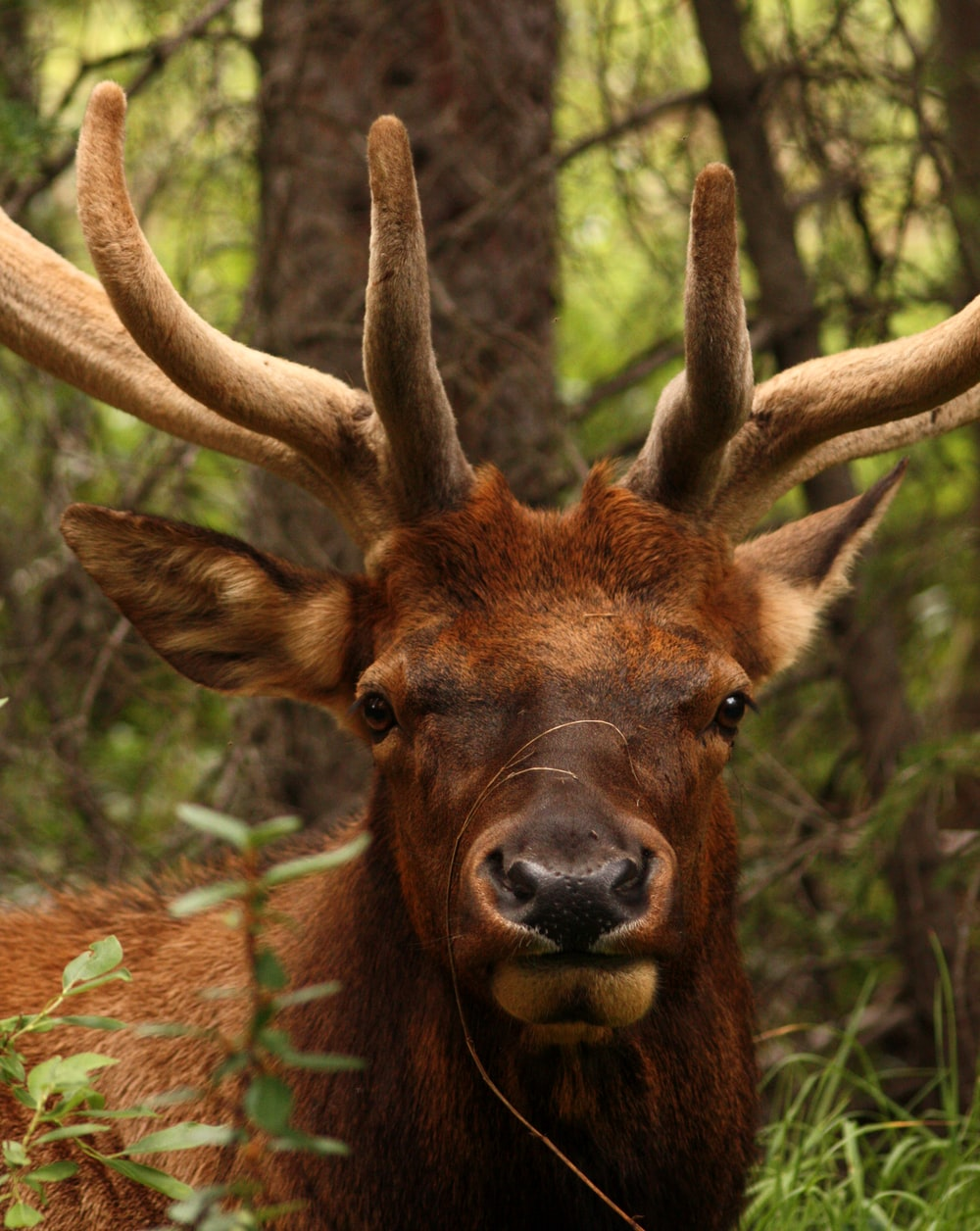 adult moose at the forest