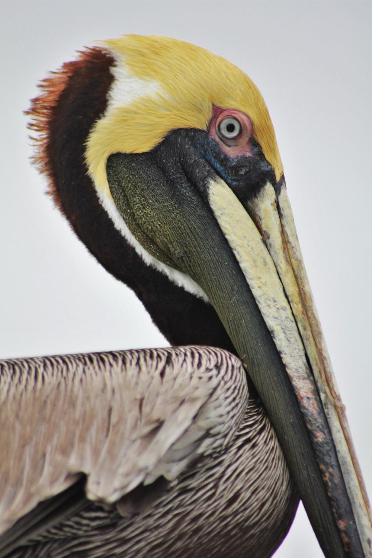 yellow, black, and white toucan