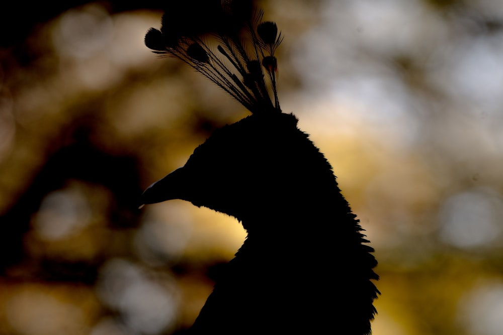 silhouette photography of peacock