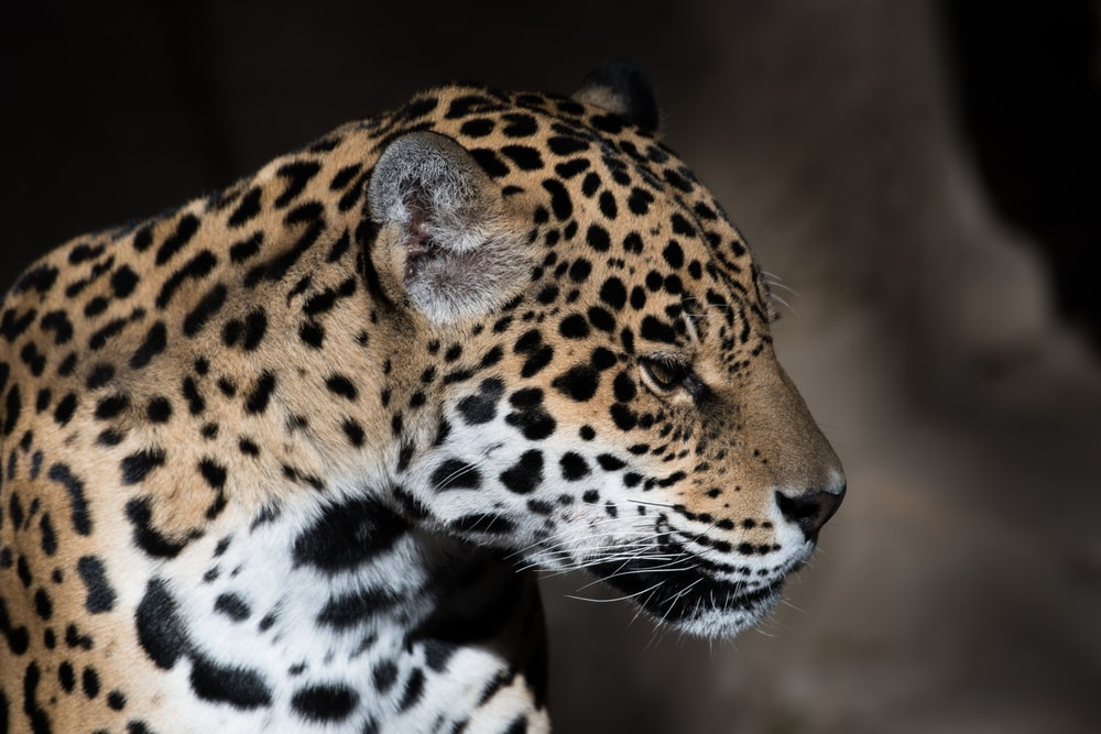 low light photography of leopard
