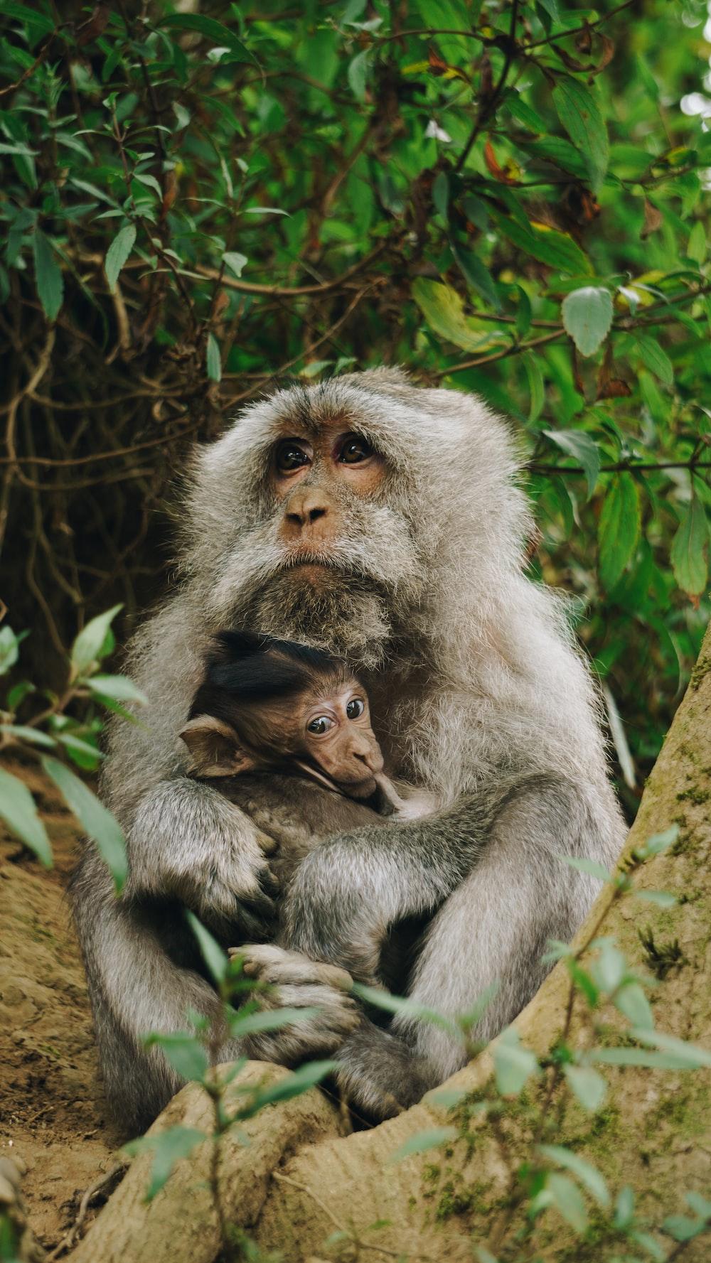 gray monkey carrying baby monkey at daytime