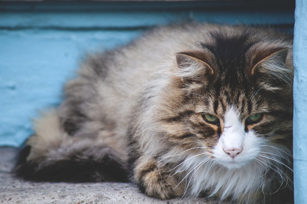 close-up photography of long-fur brown cat