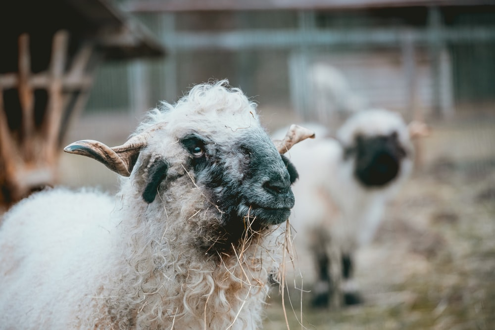 selective focus photography of sheep eating grass