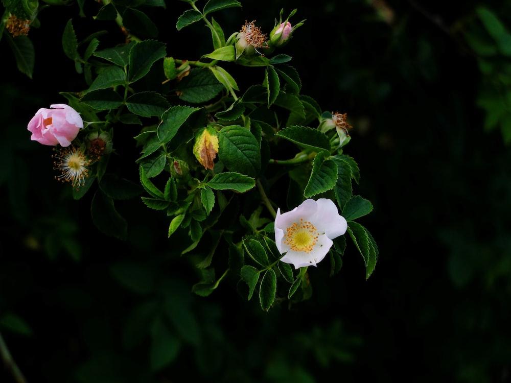 pink beach roses in bloom