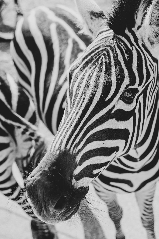 close-up photography of zebra