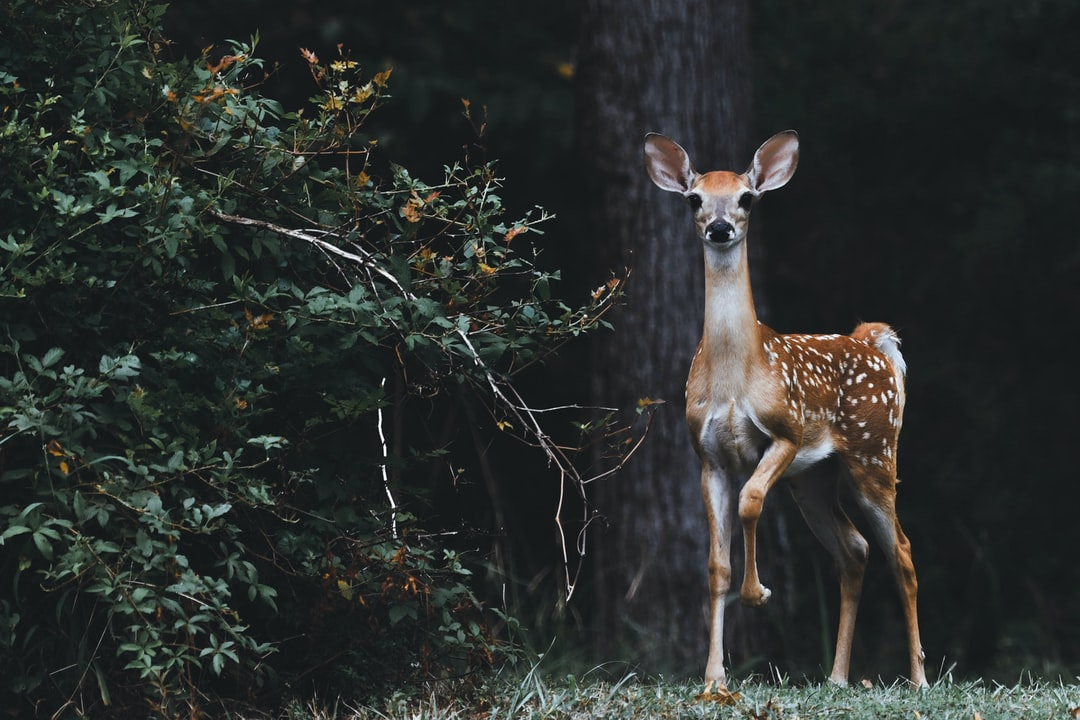 This image was taken near a lake in South East Texas in an area that is off limits for hunting. The deer around here are scared of just about anything that moves. This young deer (fawn) let me get pretty close before darting off with his crew into the woods.
