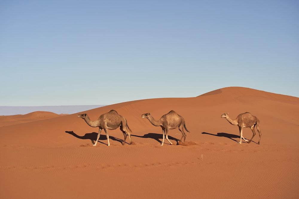 three brown camels under blue sky