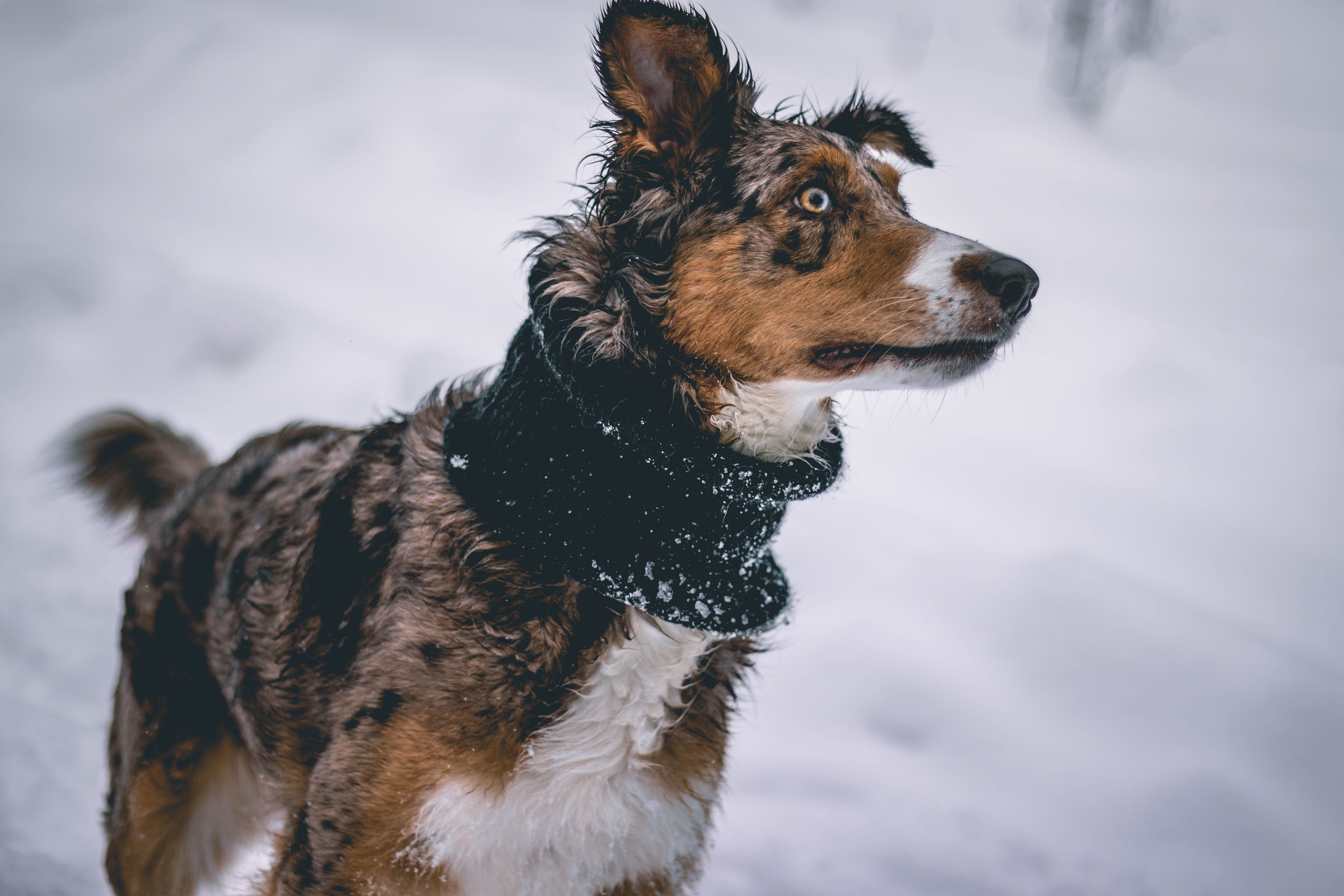 short-coated gray and tan dog on selective focus photo