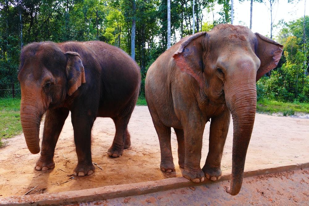 two brown elephants near trees