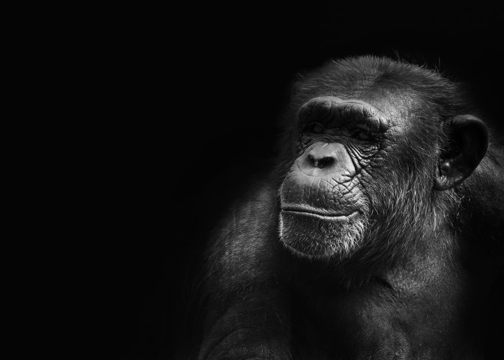 grayscale photography of ape