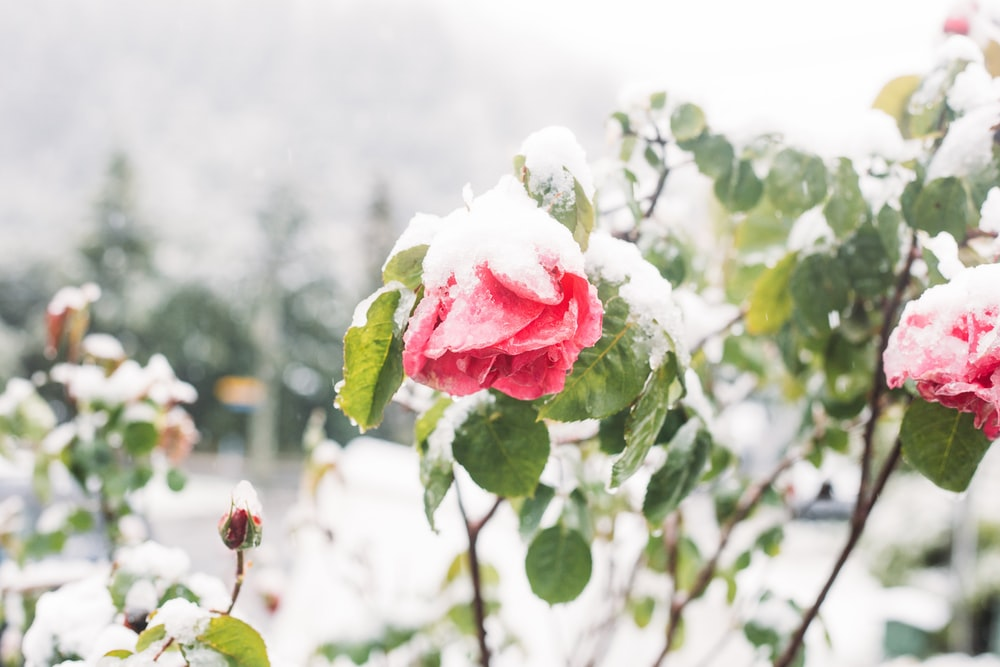 snow-covered red petaled flowers