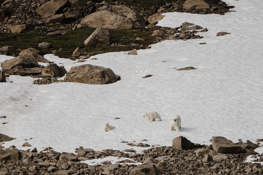 three white polar bears walking near brown stone