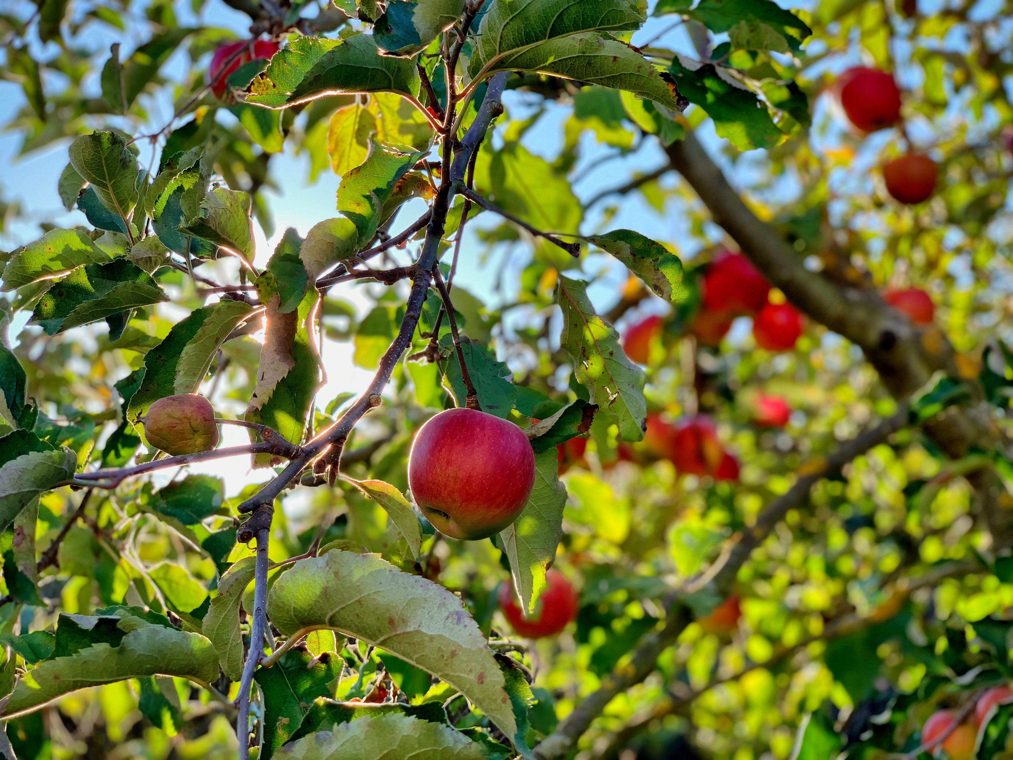 apple fruit on tree