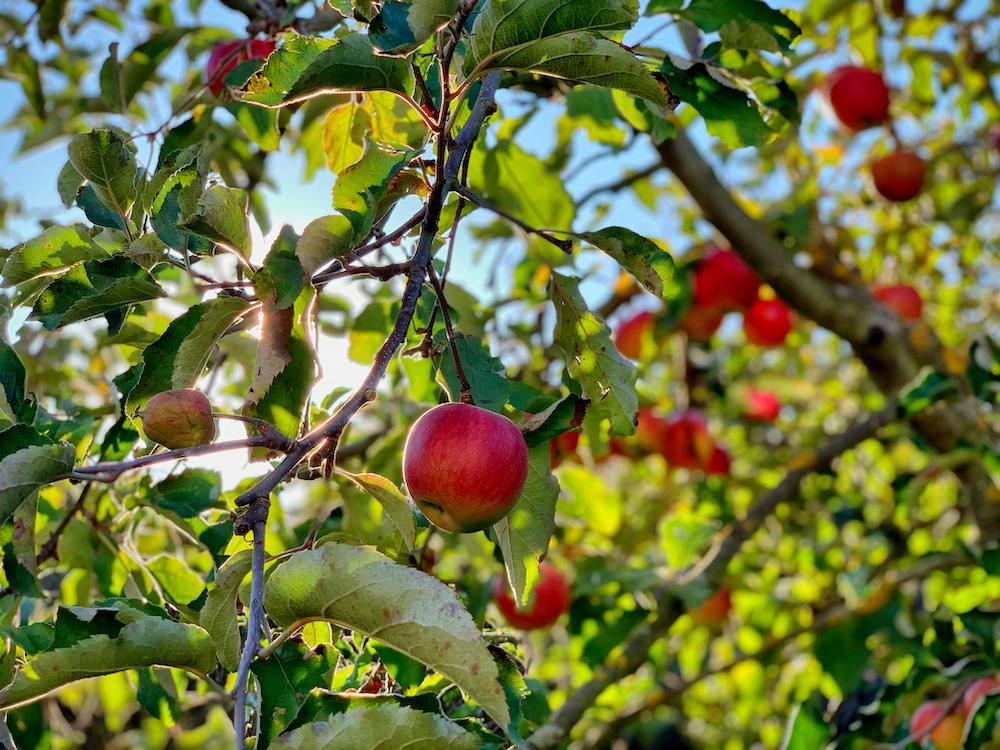 apple fruit on tree