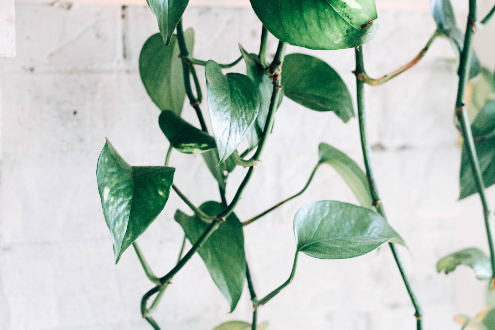 Pothos or Devil's Ivy, a tropical plant garden staple.