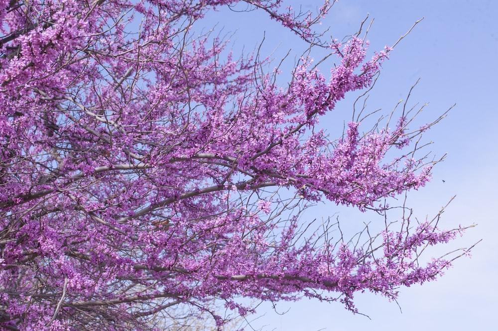 Lavender Tree At Bloom Photo Free Plant Image On Unsplash