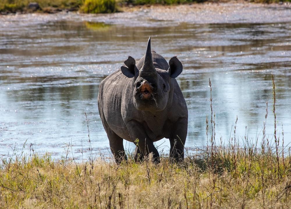 black triceratops near river