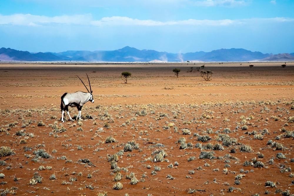 gray gemsbok on open brown field