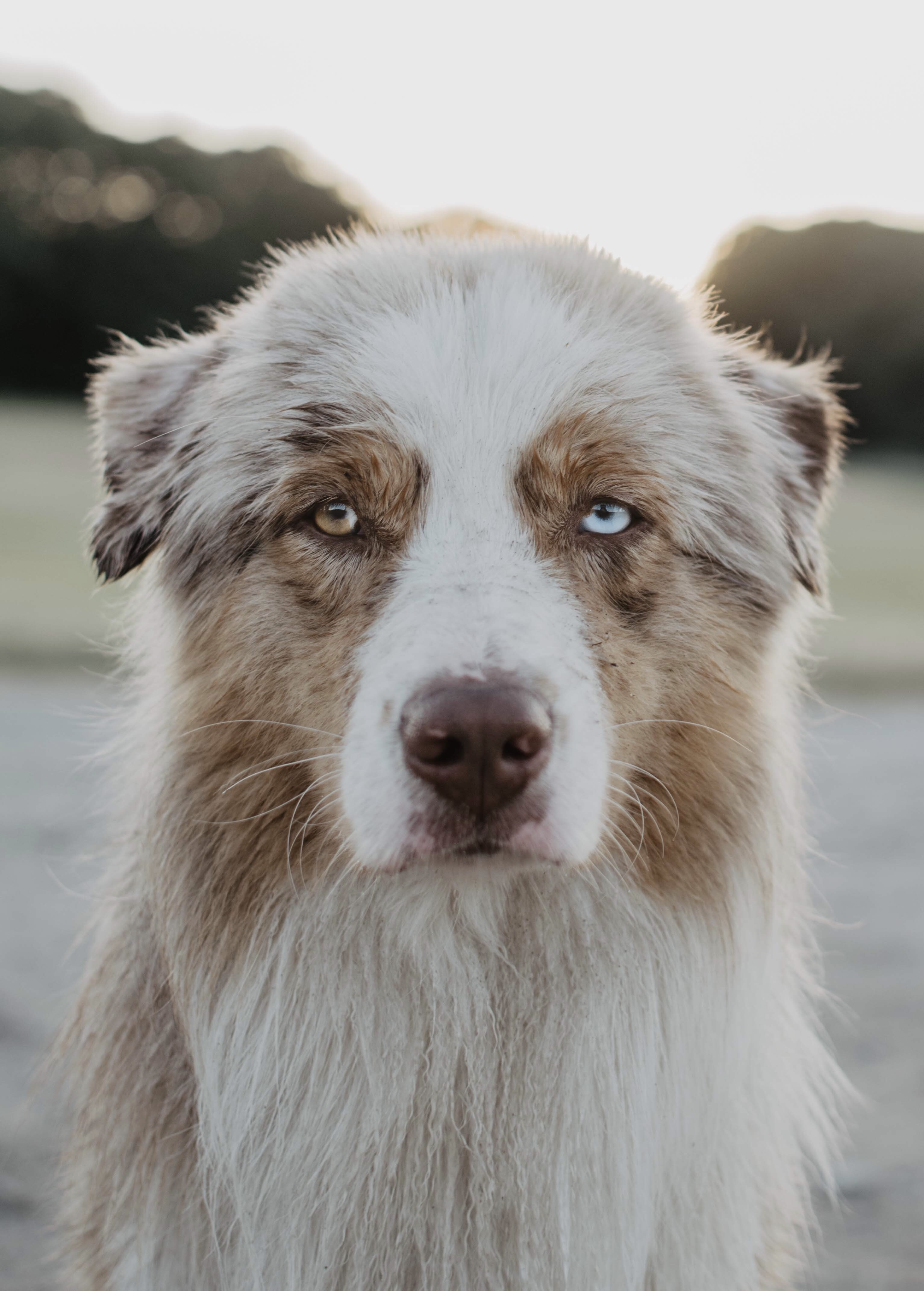long-coated white and tan dog on selective focus photography
