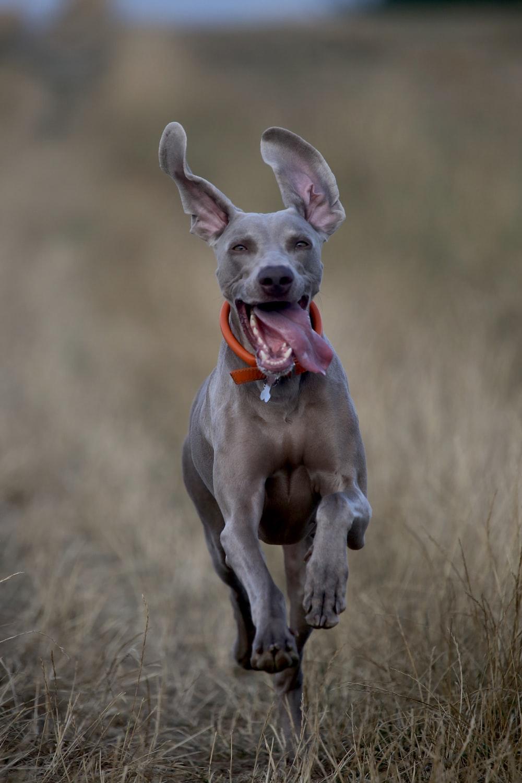 short-coated gray dog running on green grass field