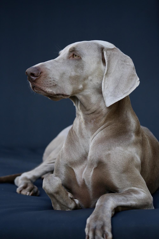 gray Great Dane looking side