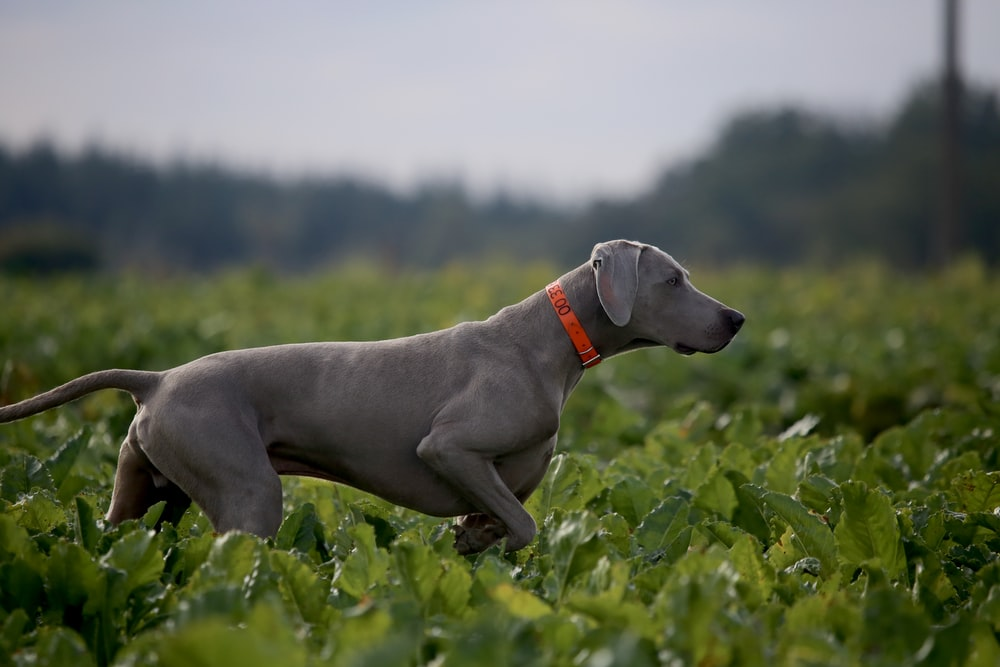 adult mouse gray Weimaraner on plant field