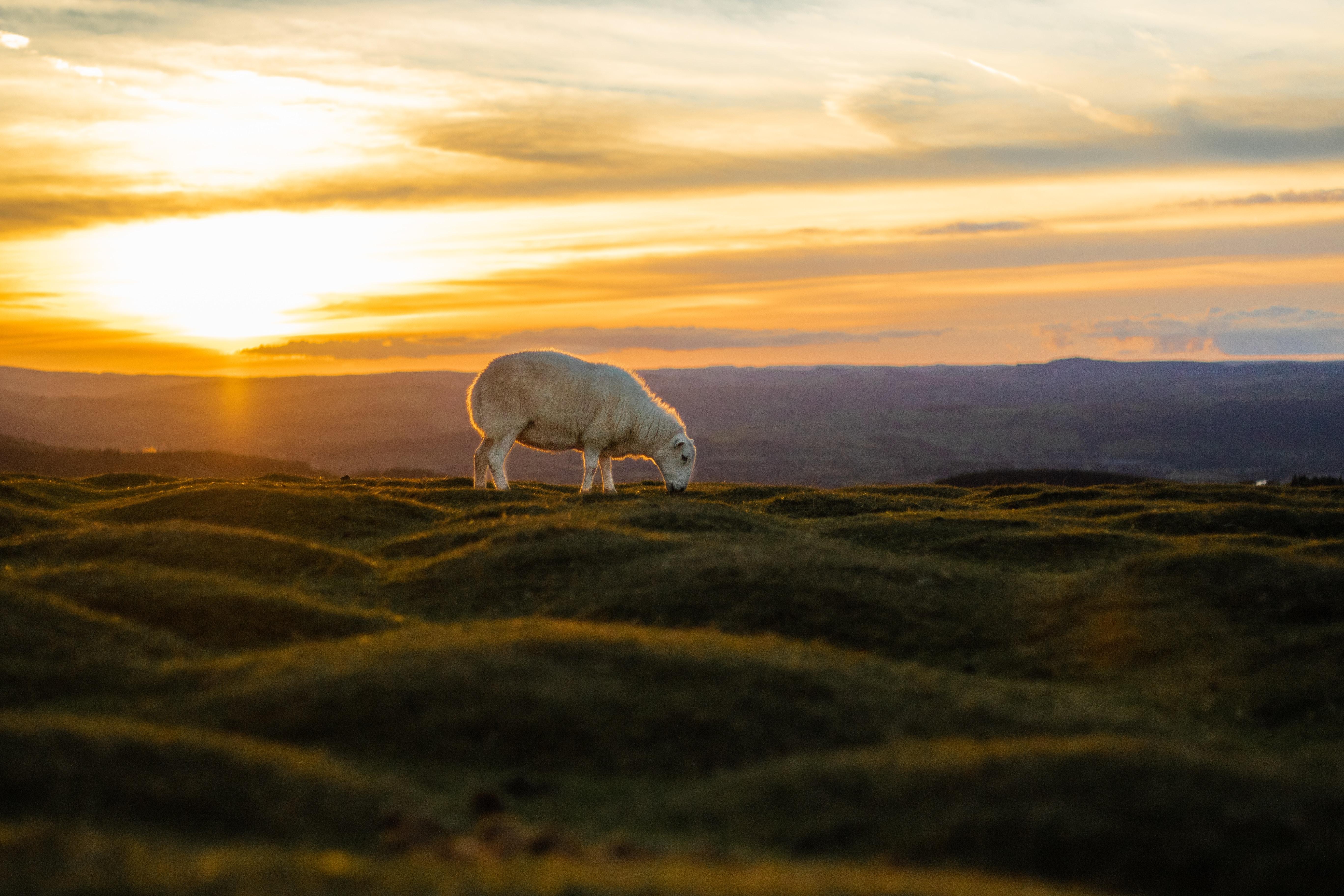 white sheep eating grass