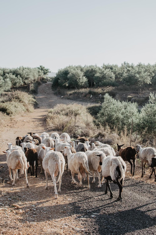 white and black sheep during daytime