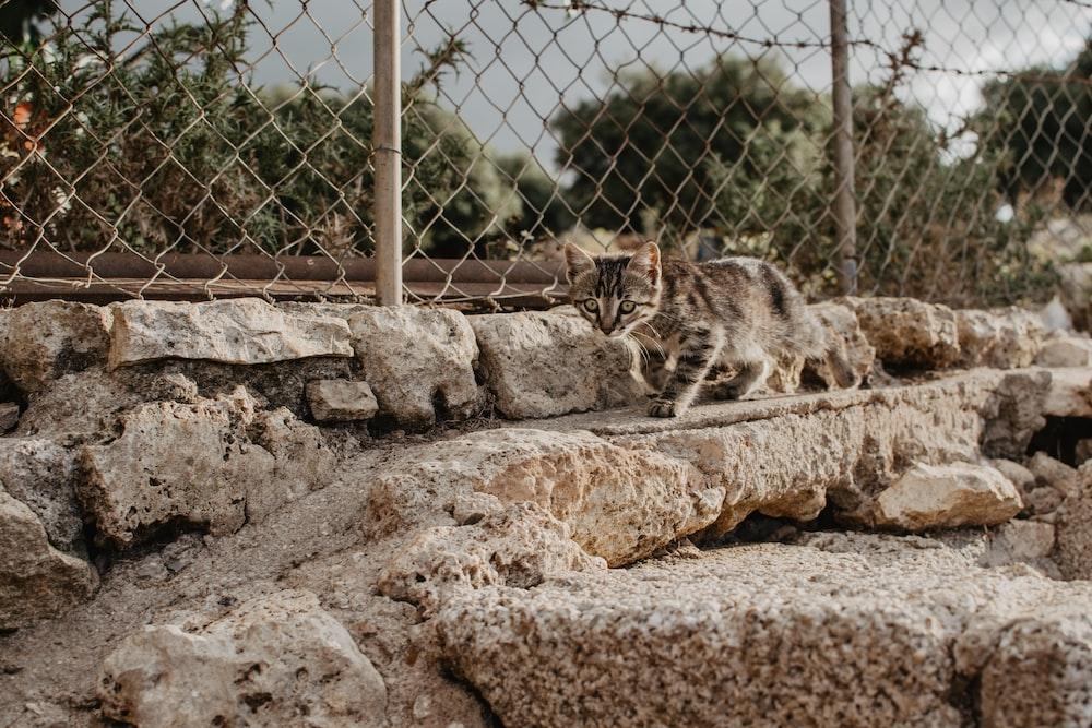 gray tabby kitten near chain fence