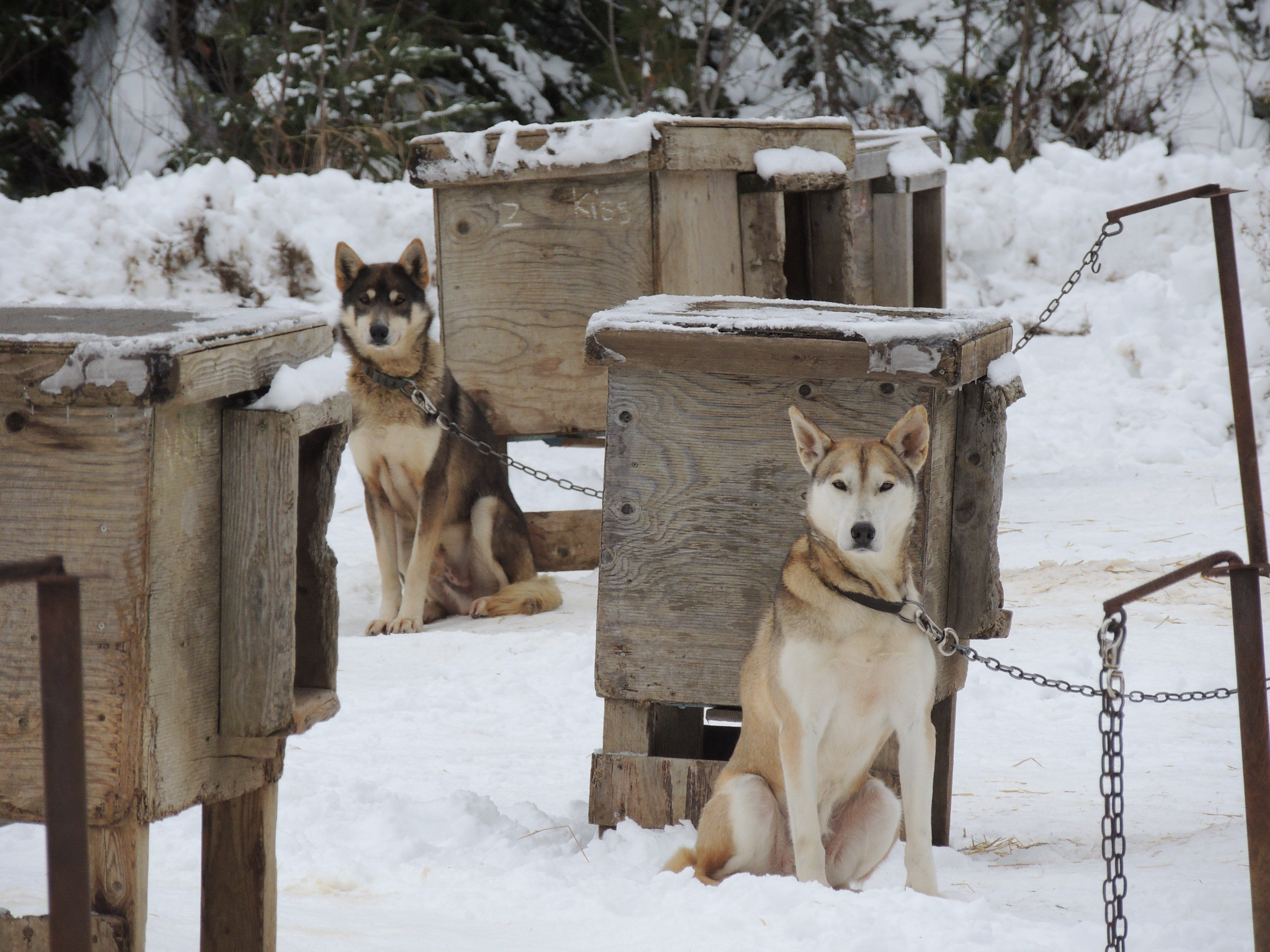 brown and white fox beside brown wooden cage