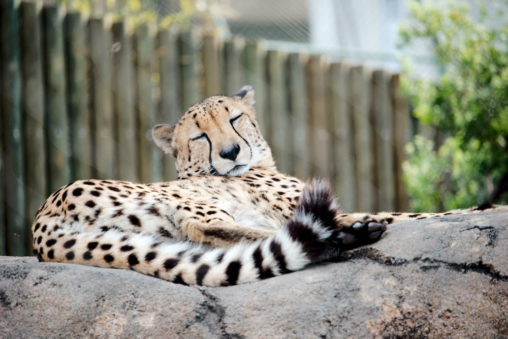 adult cheetah sleeping