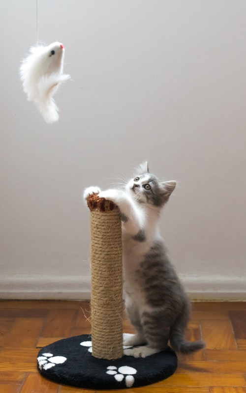 Foto de uma gata olhando para o seu brinquedo