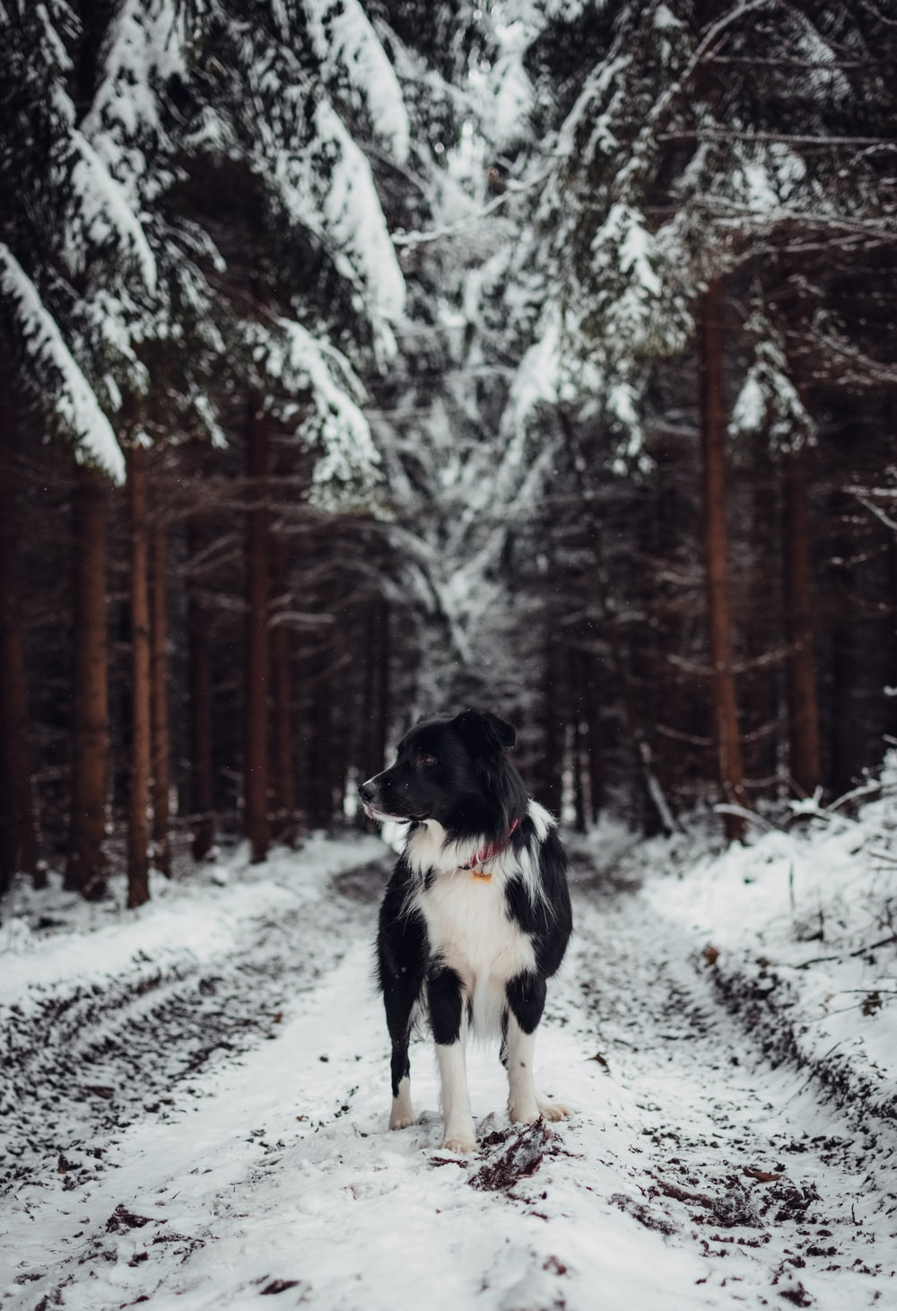 black and white don standing on snow covered road during daytime