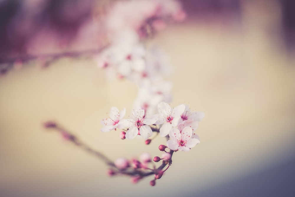 blooming cherry blossom tree