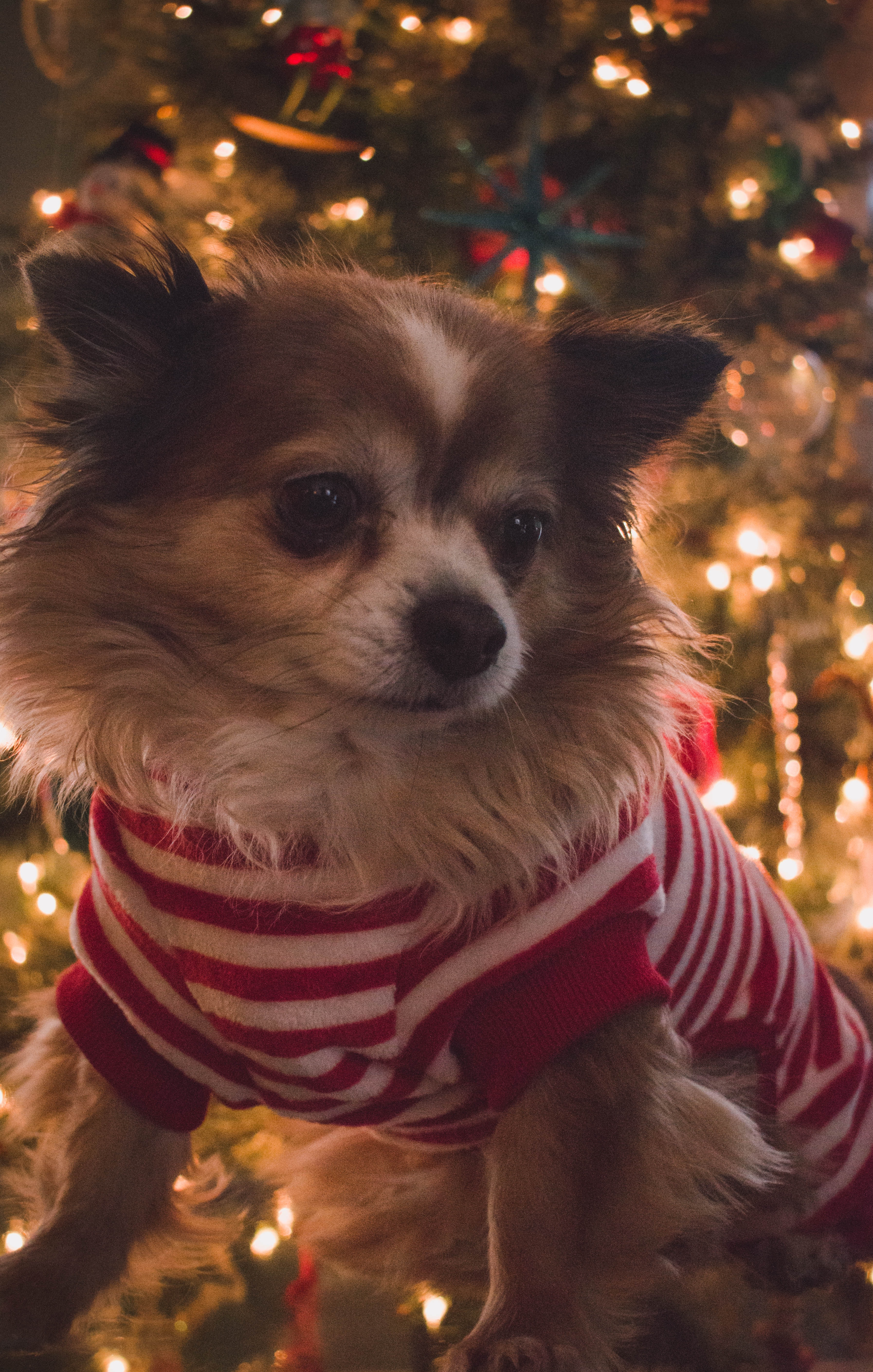 brown and white long coat small dog with red and white striped shirt