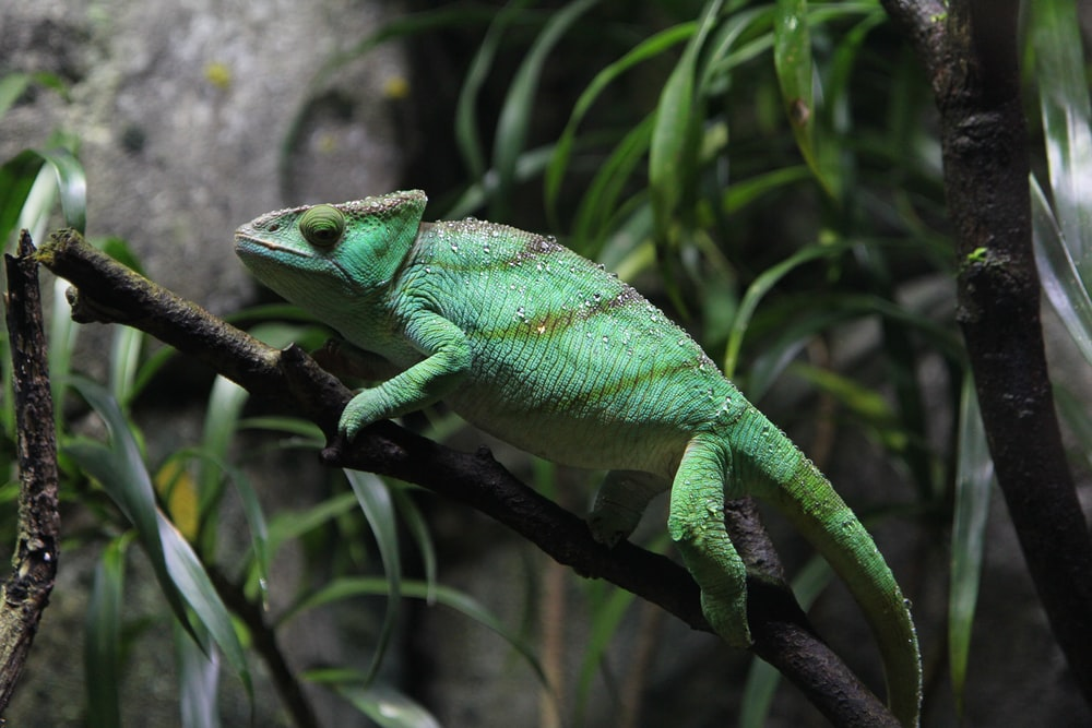 green cameleon on brown branch