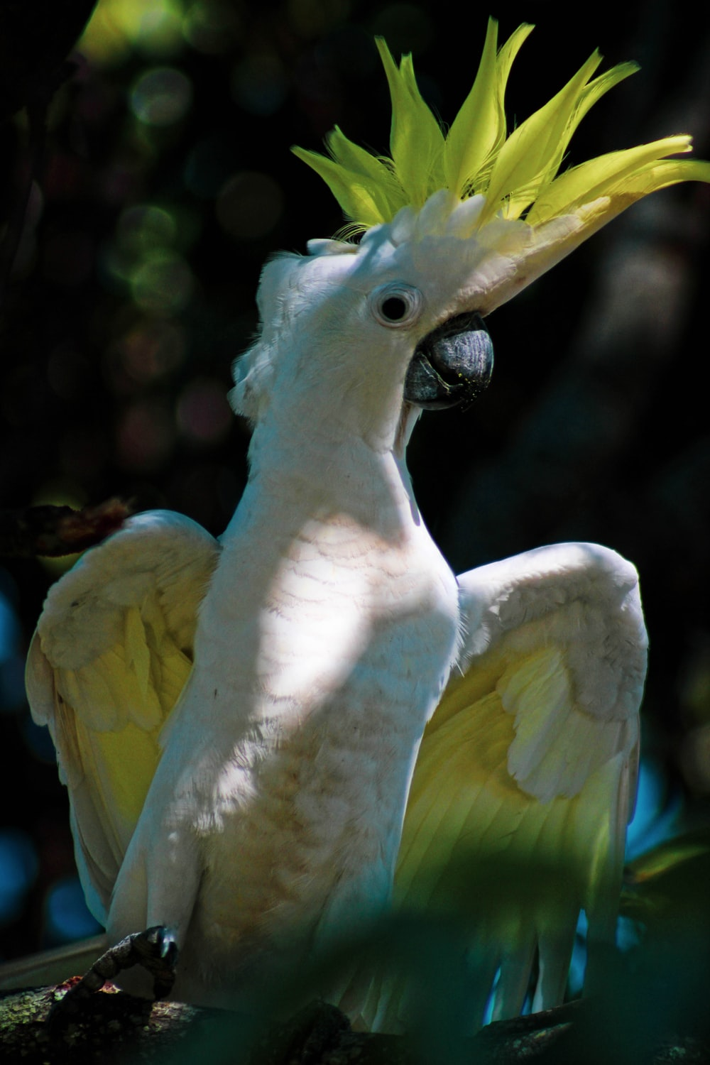 white and yellow cockatoo in branch