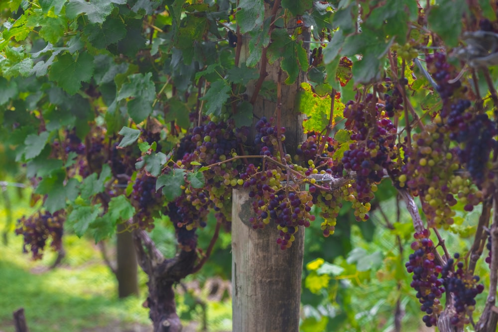 grape fruit tree