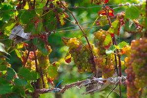 4673. Bor,szőlő, borászatok