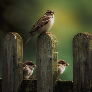brown sparrow bird perching on fence