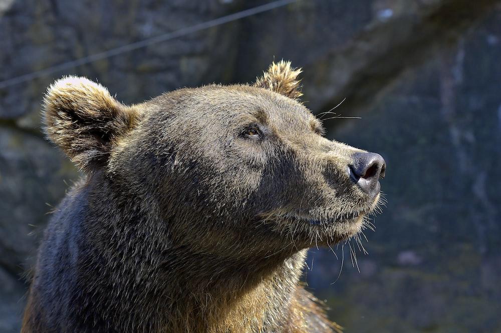close-up photography of gray bear
